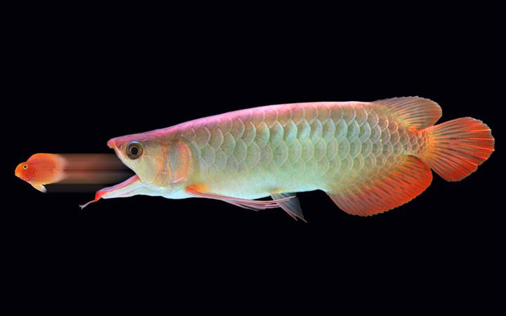 What Do Arowana Fish Eat?