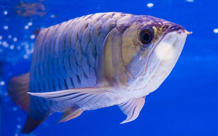 Why does Arowana Jump Out of Tank?