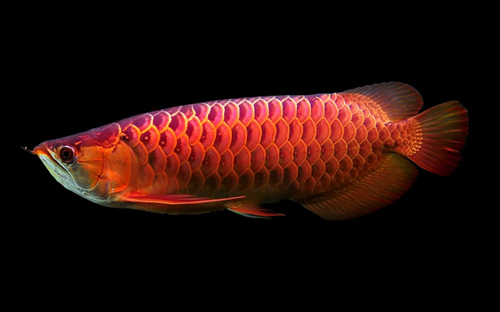 Why are Asian Arowana Illegal?