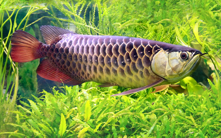 Asian Arowana – Habitat, Care, Feeding, Tank Size, Breeding