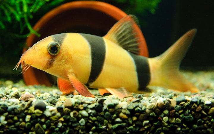 Clown Loach – Habitat, Care, Feeding, Tank Size, Breeding