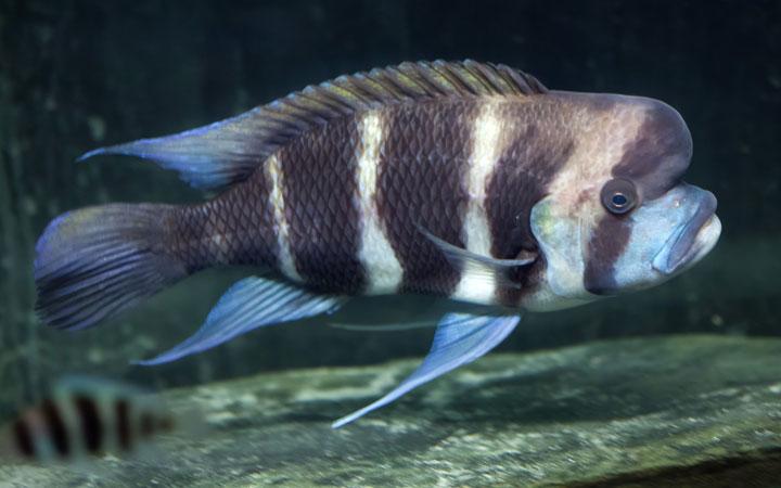 Frontosa Cichlid – Habitat, Care, Feeding, Tank Size, Breeding