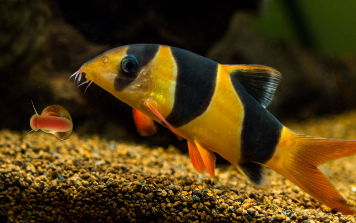 Do Loaches Eat Snails?