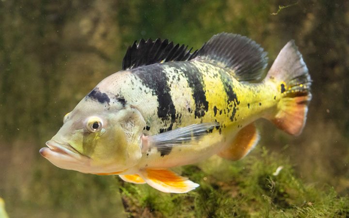 Peacock Bass – Habitat, Care, Feeding, Tank Size, Breeding