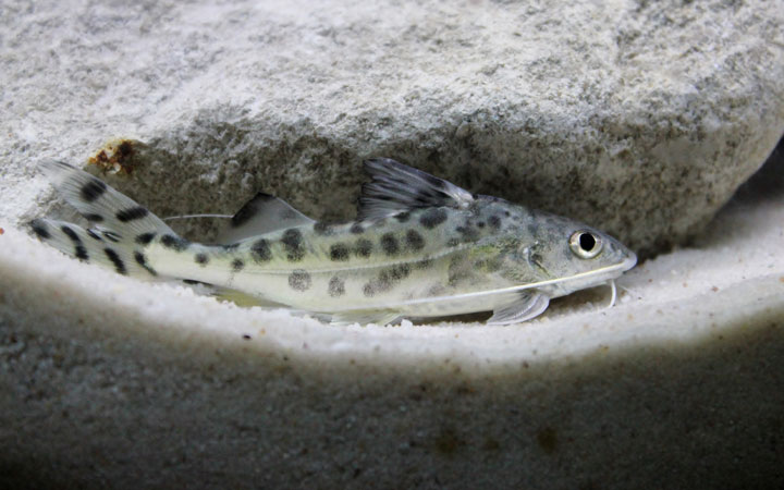 Pictus Catfish – Habitat, Care, Feeding, Tank Size, Breeding