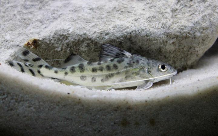 Pictus Catfish – Habitat, Care, Feeding, Tank Size, Breeding