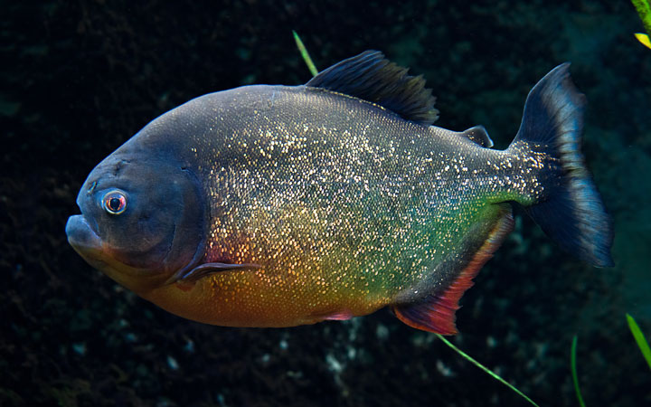 Piranha Fish – Habitat, Care, Feeding, Tank Size, Breeding
