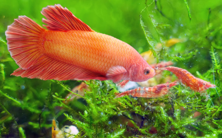 Shrimp and Betta Fish – Can They Live Together?