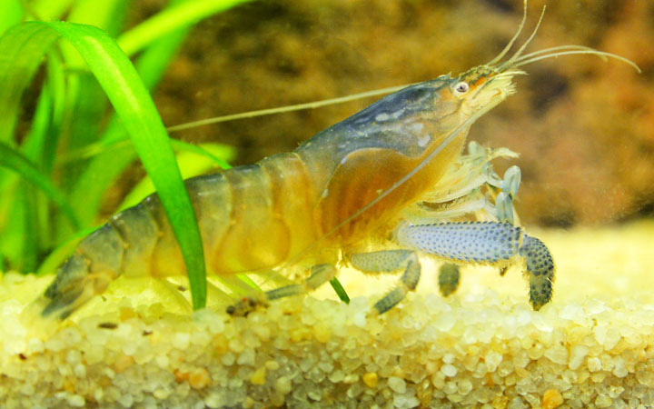 Vampire Shrimp – Habitat, Care, Feeding, Tank Size, Breeding