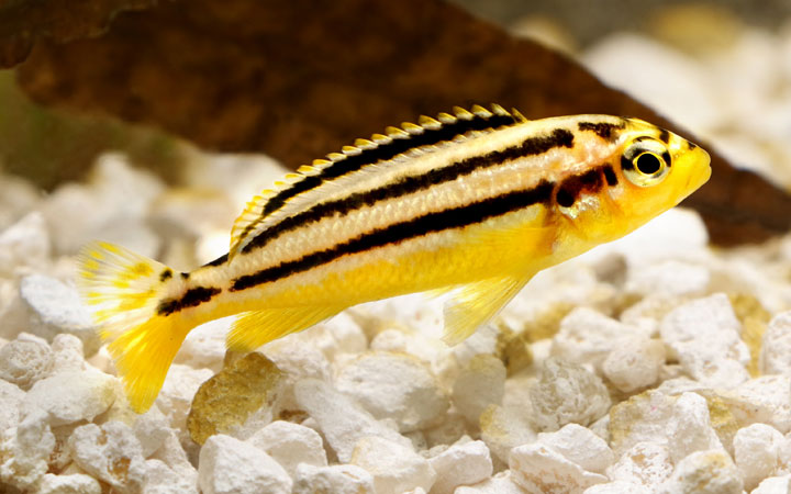 Auratus Cichlid – Habitat, Care, Feeding, Tank Size, Breeding