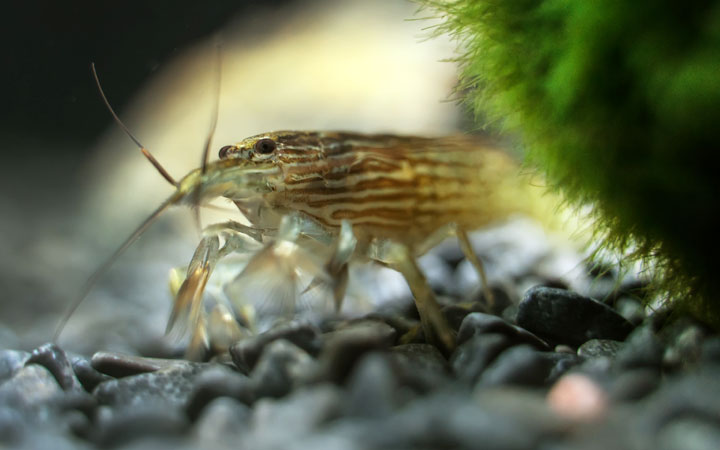 Bamboo Shrimp – Habitat, Care, Feeding, Tank Size, Breeding