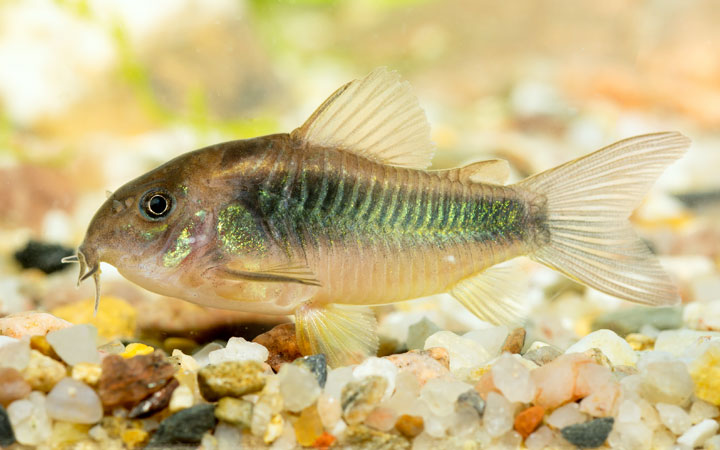 Corydoras Catfish – Habitat, Care, Feeding, Tank Size, Breeding