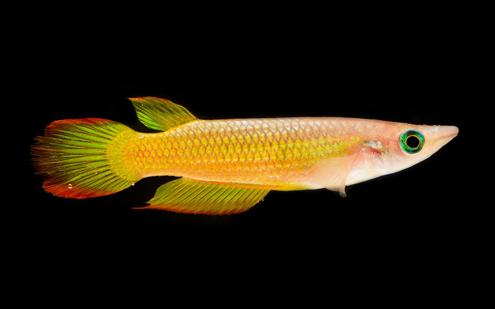 Golden Wonder Killifish – Habitat, Care, Feeding, Tank Size, Breeding