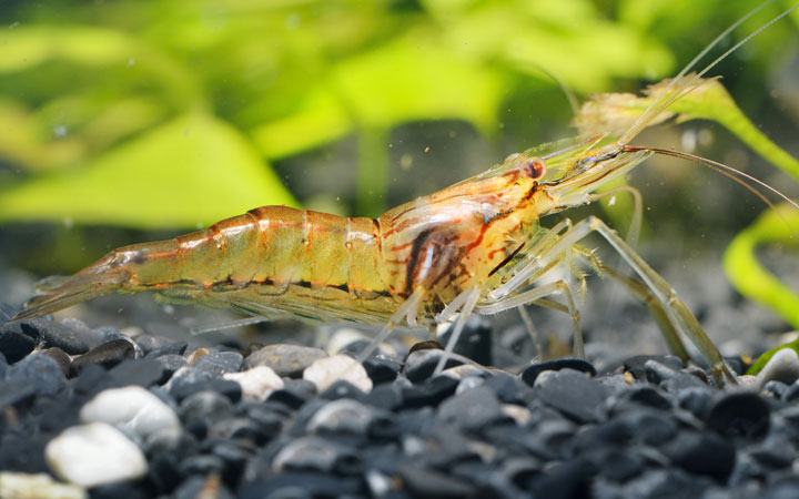 Indian Whisker Shrimp – Habitat, Care, Feeding, Tank Size, Breeding