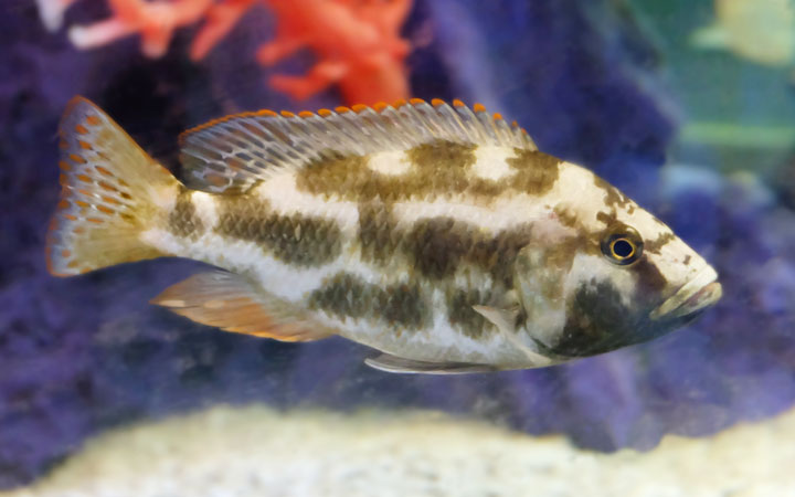 Livingstonii Cichlid – Habitat, Care, Feeding, Tank Size, Breeding