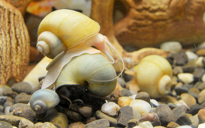 Mystery Snail – Habitat, Care, Feeding, Tank Size, Breeding