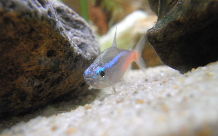 Do Neon Tetras Lose Color at Night?