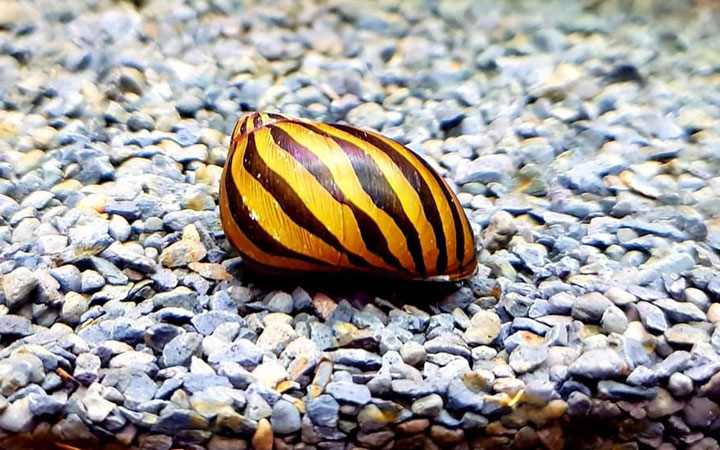 Nerite Snail – Habitat, Care, Feeding, Tank Size, Breeding