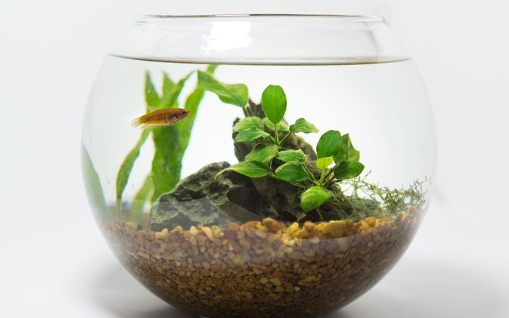 How to Setup a Planted Fish Bowl?