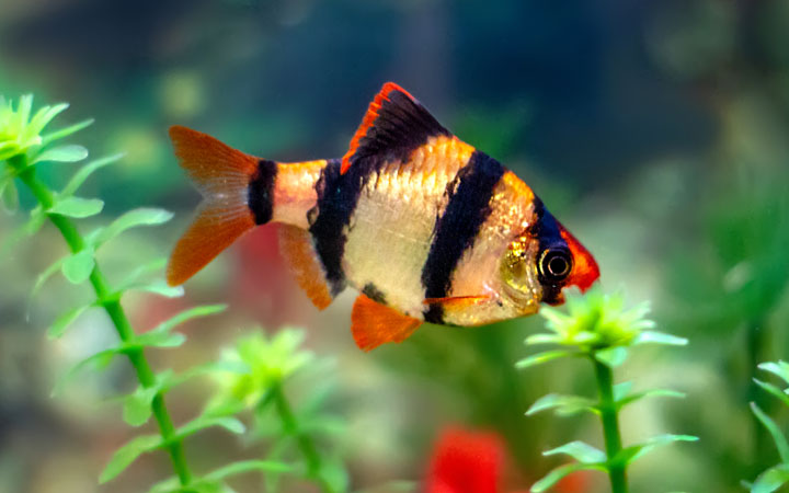 Tiger Barbs – Habitat, Care, Feeding, Tank Size, Breeding