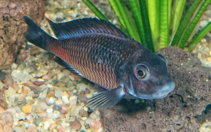 Tropheus Cichlid – Habitat, Care, Feeding, Tank Size, Breeding