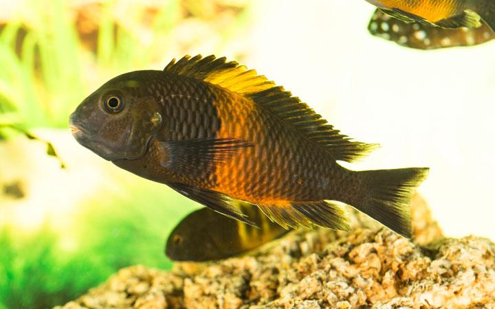Tropheus Cichlid Habitat Care Feeding Tank Size Breeding Aquariumnexus