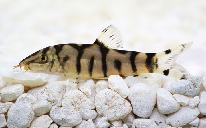 Yoyo Loach – Habitat, Care, Feeding, Tank Size, Breeding