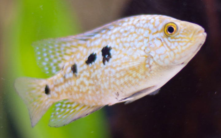 Why do African Cichlids Keep Dying?