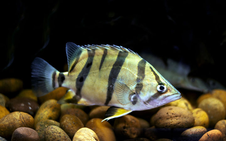 Datnoid Fish – Care, Facts & Profile
