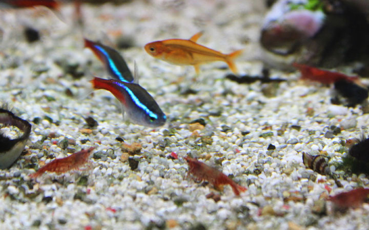 Neon Tetras & Shrimp – Can They Live Together?