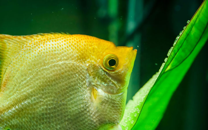 What Color Are Angelfish Eggs? What You Need to Know