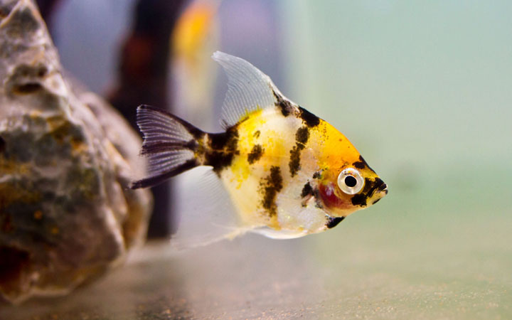 Why is My Angelfish Fat and Bloated?