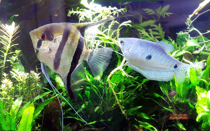 Angelfish and Gourami – Can They Live Together?
