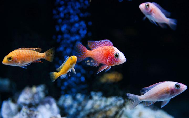 How Long do Aquarium Fish Live For?