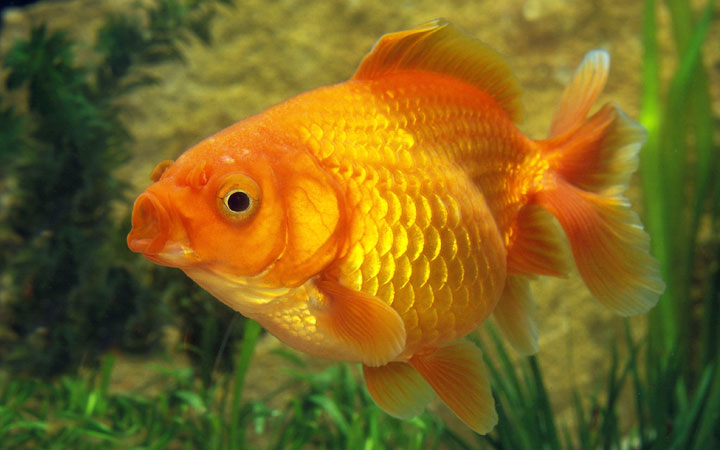 Why Goldfish Keeps Opening Its Mouth?