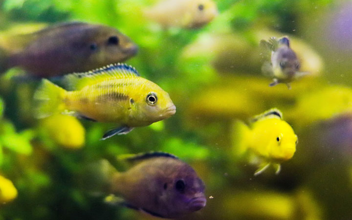 10 Fun & Interesting Facts about African Cichlids
