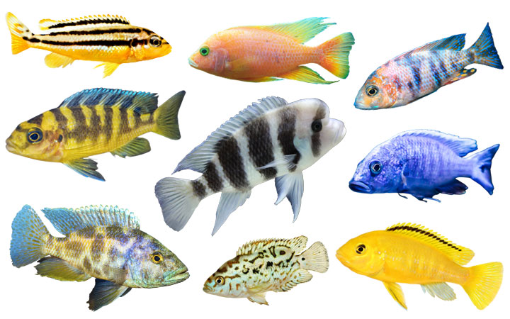 10 Types of African Cichlids – Beautiful & Colorful Varieties