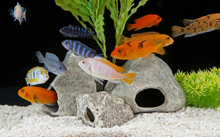 African Cichlids Tank Size – The Complete Guide