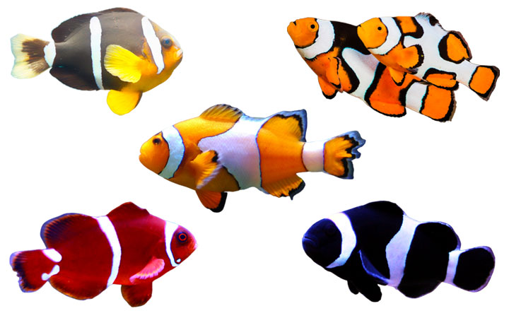9 Clownfish Types – Popular & Rare Varieties
