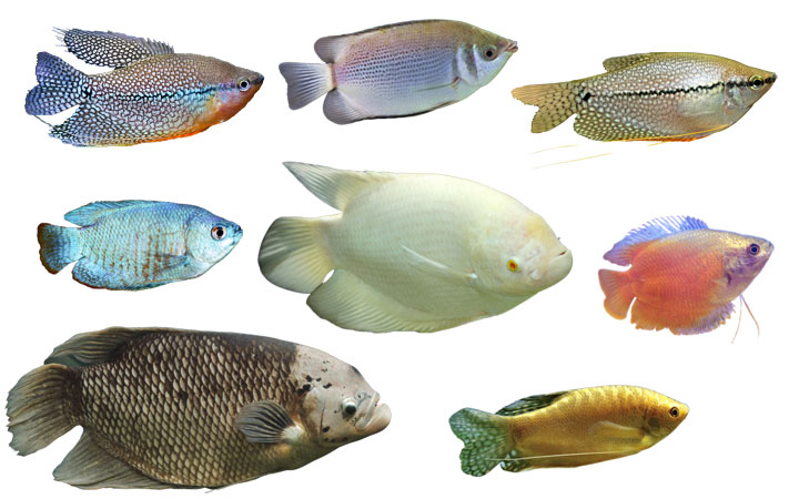 10 Types of Gourami Fish – Colorful & Popular Varieties