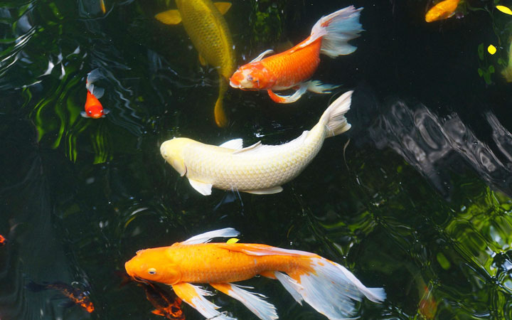 Koi Carp vs Goldfish – What is the Difference?