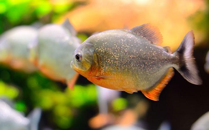 10 Fun & Interesting Facts about Piranhas