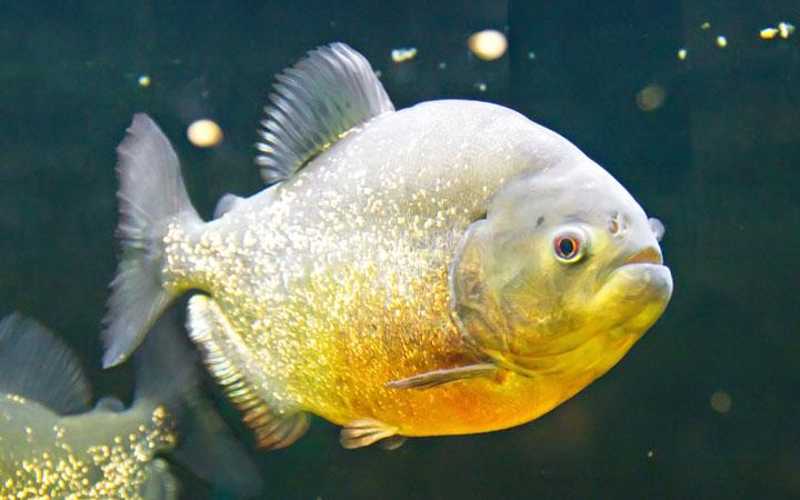 What do Piranha Fish Eat? Piranha Fish Food & Diet