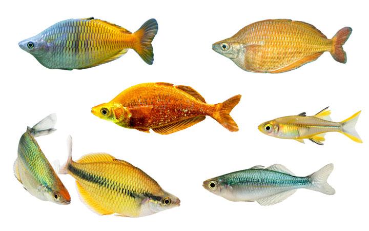10 Rainbowfish Types – Popular & Colorful Varieties
