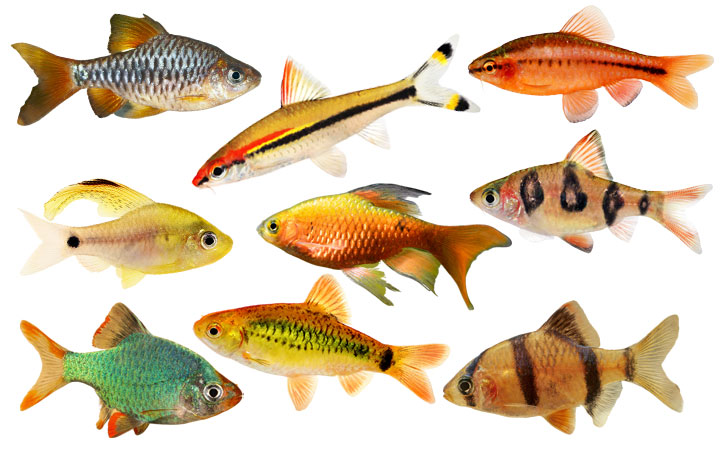 10 Types of Barb Fish to Keep in Your Aquarium