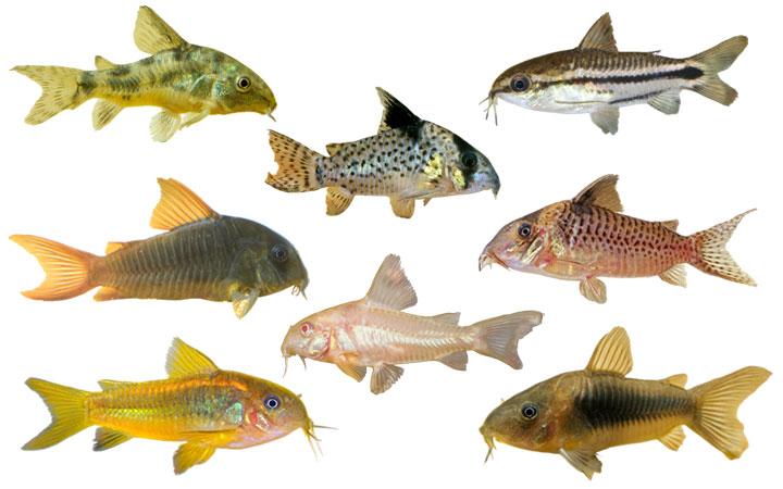 10 Types of Cory Catfish – Popular & Beautiful Species