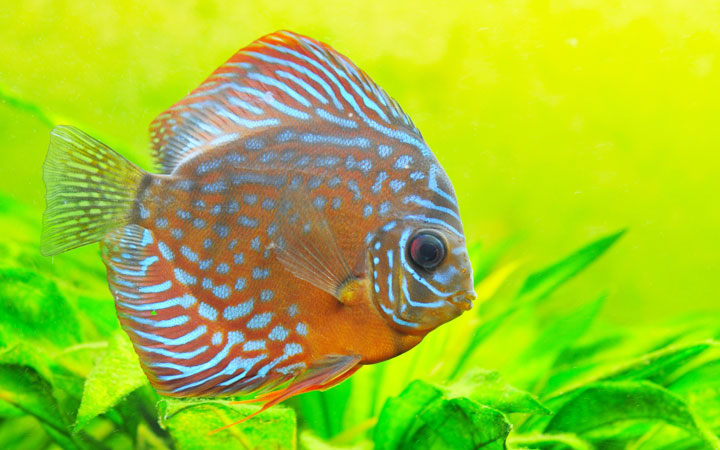 Are Discus Fish Good for Beginners?