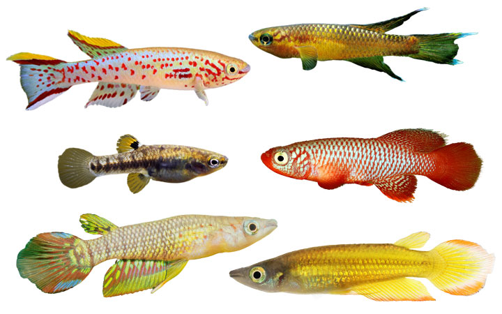 11 Types of Killifish – Popular & Beautiful Species