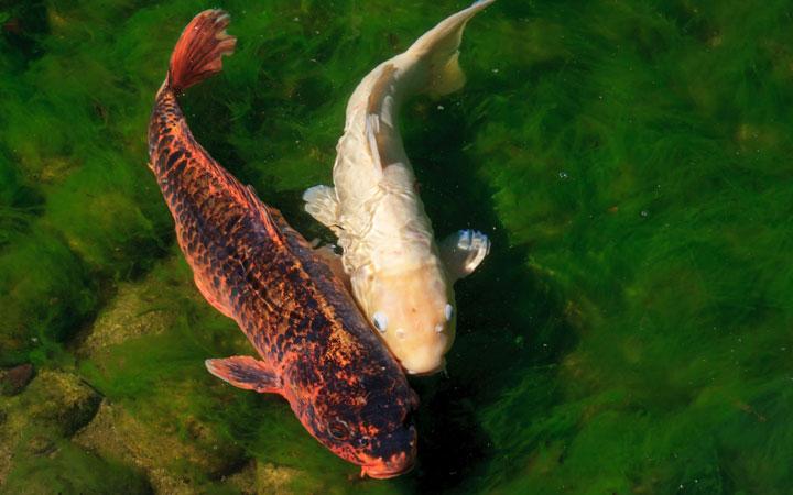 Can Koi Carp Breed in Ponds?